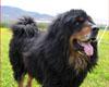 世界名犬——藏獒