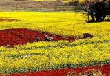 云南罗平 油菜花海洋的春天