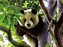 6只国庆熊猫五一北京露面